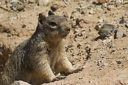 Rock Squirrel, Citellus variegatus