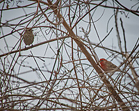 Pair of House Finches. Image taken with a Nikon D2xs camera and 80-400 mm VR lens (ISO 100, 400 mm, f/8, 1/250 sec).
