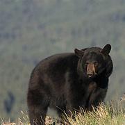 Black Bear, (Ursus americanus) Montana.  Captive Animal.