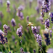 A bee pollinating Lavendar plants on a farm in the English countryside, UK