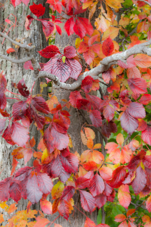 Autumn vine leaves, morning light, October, Emmet County, Michigan, USA