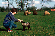 A young woman supplements the nutrient of a new-born lamb, by feeding this black-faced Spring lamb by bottle as adult ewes feed on fresh green grass in a smallholding field in Somerset, England. Instinctively, the young animal suckles on the teat and drinks copious amounts of milk to help it develop and grow into a strong sheep.