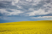 An ominous black sky looms large over a golden Canola field on the prairie east of Calgary.<br /> <br /> ©2011, Sean Phillips<br /> http://www.RiverwoodPhotography.com