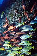 bigscale soldierfish, Myripristis berndti, burrito grunts, Anisotremus interruptus, and blueline snappers, Lutjanus viridis, Cocos Island ( Eastern Pacific Ocean )