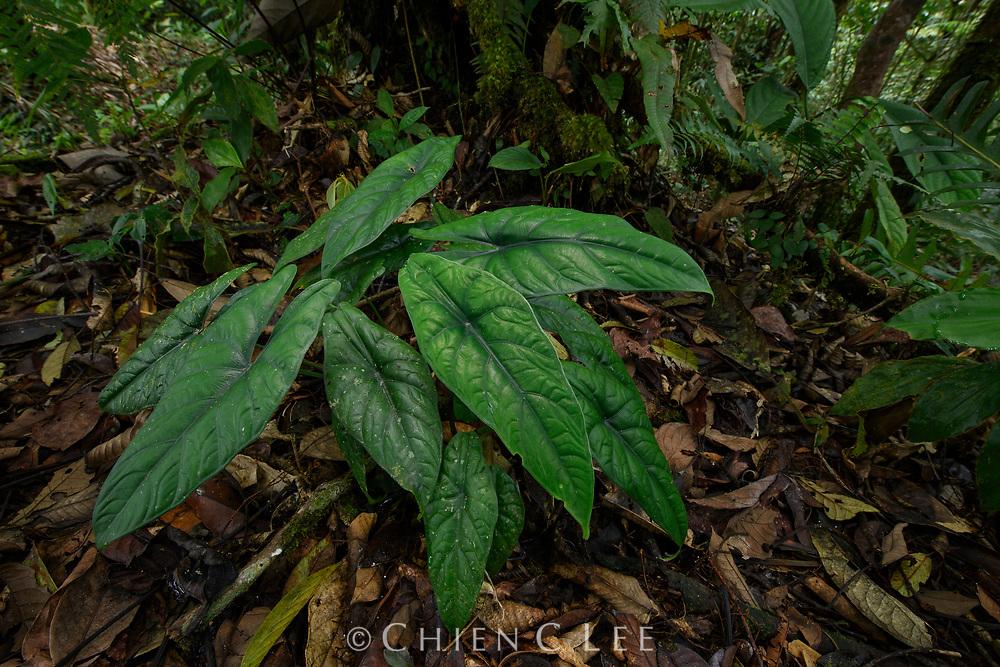 Alocasia puncakborneensis, a new Bornean endemic described in 2020. Sarawak, Malaysia (Borneo).