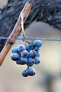 Domaine Jean Baptiste Senat. In Trausse. Minervois. Languedoc. France. Europe. Vineyard. A leftover grape bunch hanging on the vine in winter.