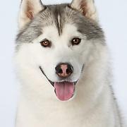 20200325 Siberian Husky