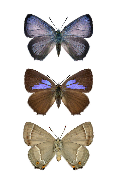 Purple Hairstreak - Neozephyrus quercus = Favonius quercus. Male (top) - female  (centre and bottom (underside)). Wingspan 38mm. A rather enigmatic butterfly that can be hard to observe closely. As an adult it usually remains close to the top of the mature tree where its life-cycle began. Lives in colonies. Adults have brown upperwings; males have purple sheen on both wings, in females it is restricted to hindwings. Underwings are grey with hairstreak line. Larva is brown and rather slug-like; feeds on oak buds. Widespread but locally common only in southern England and Wales.