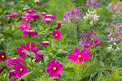 Cosmos bipinnatus 'Dazzler' with Zinnia 'Giant Purple' and Cleome hassleriana 'Purple Queen' in the cutting garden