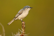 Blue-gray Gnatcatcher - Polioptila caerulea
