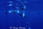 Jim Watt photographs parade of four feeding manta rays, Mobula alfredi (formerly Manta alfredi) or Mobula birostris,  Bay of Wrecks, Christmas ( Kiritimati ) Island, Line Islands, Kiribati ( Central Pacific )