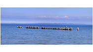 Sea Gulls resting on wooden pylons in the calm waters of Lake Superior at Whitefish Point, Michigan, Upper Peninsula, USA