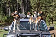 Loaded for bear. Walker hound Ranger (front left) leads the pack during an Idaho bear spring hunt.