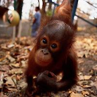 Orang Utan sanctuary Wanariset Samboja, threatened by forest fires, Indonesia Accession #: 0.98.111.001.05