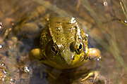 Portrait of a frog resting in a pond