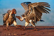 White-backed vulture (Gyps africanus) fighting over food in Zimanga Private Reserve, South Africa.