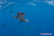 Atlantic sailfish, Istiophorus albicans, with Spanish sardine, Sardinella aurita, in mouth, off Yucatan Peninsula, Mexico ( Caribbean Sea ), is barely starting to switch in to excited color phase just after snatching fish, #1 in sequence of 3 images