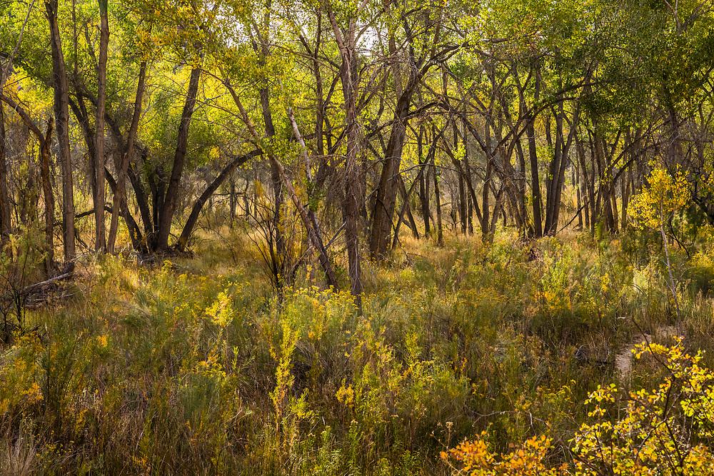 Trees along the Escalante river, Grand Staircase-Escalante National Monument, Utah, USA.