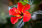 Red Hibicus Flower, Hawaii