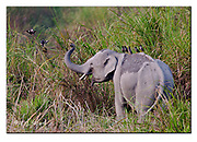Wild Indian elephant with Jungle Mynas. Kaziranga NP, India. Nikon D4, Sigma 150-600mm @ 600mm, f6.3, 1/800sec, ISO640, Aperture priority