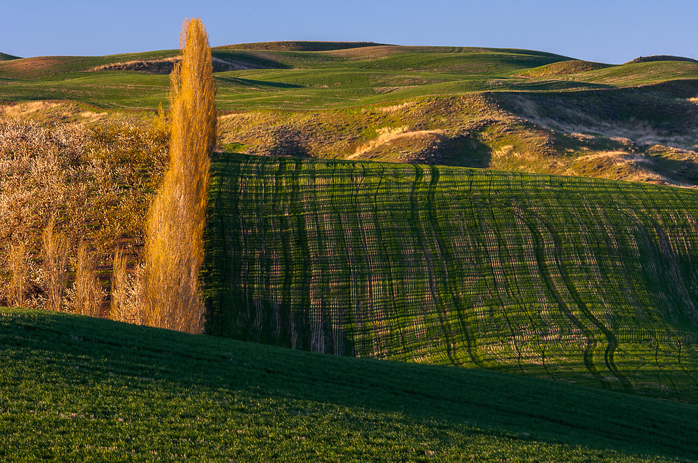 Fruit orhard and agricultural field, morning light, April, Columbia River Basin, Washington, USA
