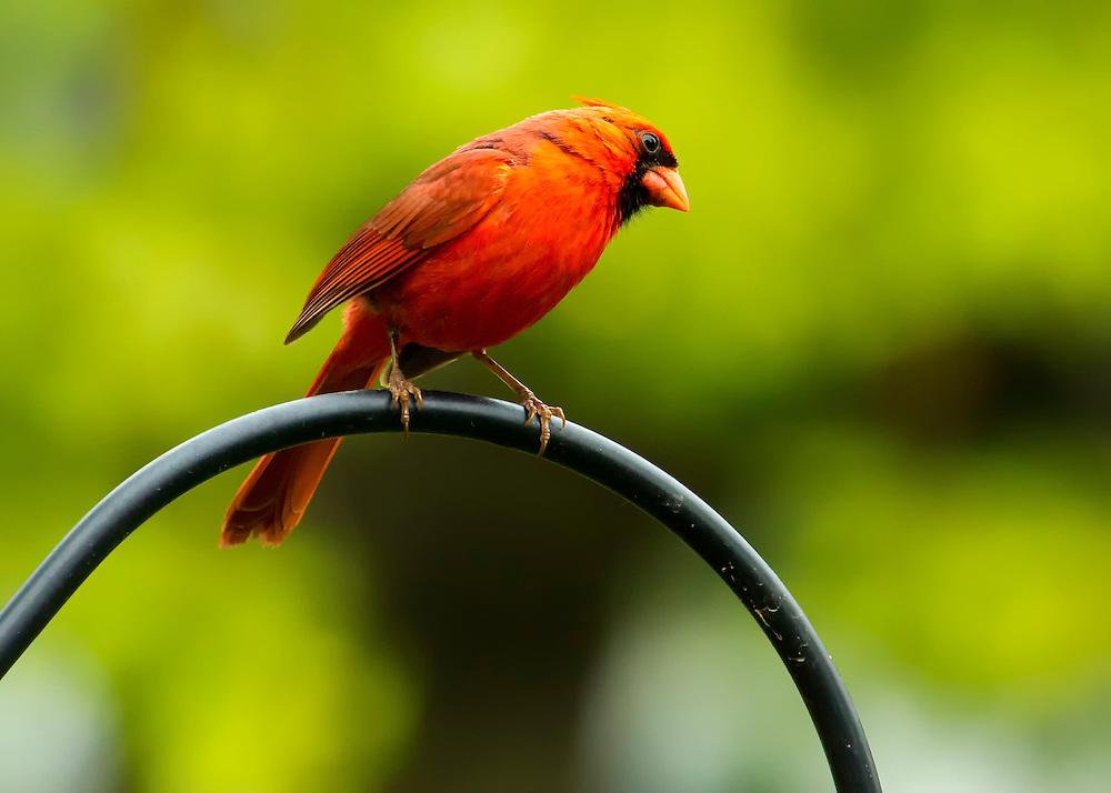 A Male Northern Cardinal Perched on a Metal Pole - Side Angle Pose