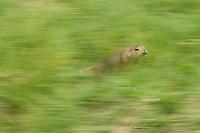 European Ground Squirrel, Spermophilus citellus, Europaeischer Ziesel, near Nikopol, Bulgaria