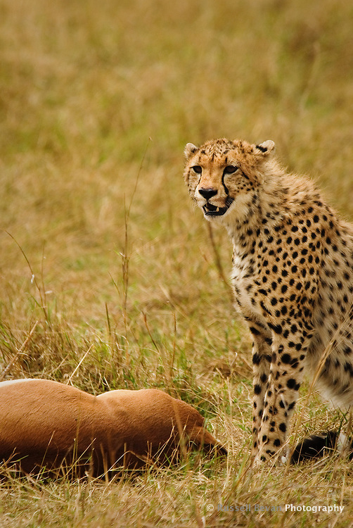 A young Cheetah with an Impala kill in the Masai Mara National Park, Kenya