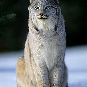 Canada Lynx, (Lynx canadensis) Adult. Rocky mountains. Montana. Winter.  Captive Animal.