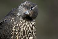 Gyr Falcon, Falco rusticolus, Jämtland, Sweden