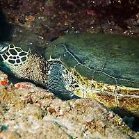 Green Sea Turtle, Chelonia mydas, (Linnaeus, 1758), Maui Hawaii