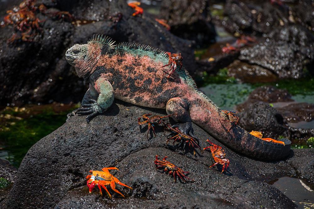 Marine Iguana (Amblyrhynchus cristatus) & Sally Lightfoot Crabs (Grapsus grapsus)<br /> Black Beach, Floreana Island<br /> Galapagos<br /> Ecuador, South America<br /> ENDEMIC TO THE ISLANDS<br /> Breeding colors, December