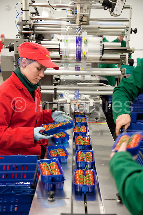 People checking and packing tomatoes in the packaging room. The Cornerways tomato nursery is the largest greenhouse in the UK. It is attached to the British Sugar factory in Wissington, Norfolk. The project is a revolutionary CHP combined heat and power system that uses the heat produced by refining sugar beet into sugar, to heat the tomato plants that are grown hydroponically.