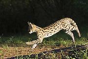 Serval<br /> Felis serval<br /> 13 week old orphan serval kitten running<br /> Tanzania