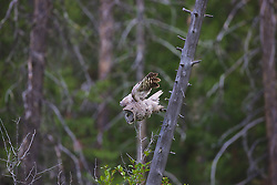 Diving Great Grey Owl, deep forest, Grand Teton National Park