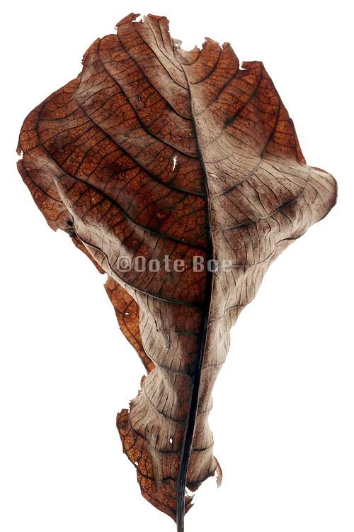 curling up dry leaf