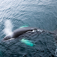 An aerial view of a humpback whale in the Gerlache Strait, Antarctica.