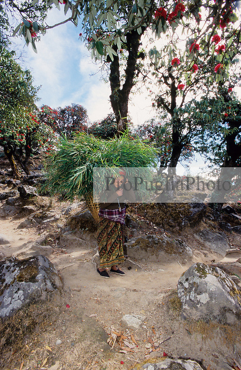 Kalikot, 04 March 2005. .. A woman is carring a basket of bamboo leaves. In most of Kalikot's area, walking is the only method of transport. Donkeys are also used for moving cargo.