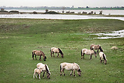 Nederland, Ooij, 20-3-2019Een groep Konikpaarden graast in de Ooijpolder, Millingerwaard. De Konik leeft in kuddeverband. De wilde paarden zijn uitgezet in natuurgebieden door heel Nederland. Het gebied is onderdeel van het project ruimte voor de rivier, bedoeld om de waterafvoer van de grote rivieren te verbeteren en te verdelen bij hoog water. Nu het water wat hoger staat tegen de voet van de dijk wijken de dieren uit naar hoger gelegen grond .Foto: Flip Franssen