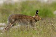 Mountain hare, Lepus timidus, summer coat, running in grass, Strathdearn, Highland.<br /> landscape; season; seasons; summer; green; brown;<br /> grass; grassland; run; running; summer coat;<br /> animal; animals; mammal; mammals; lagomorph;<br /> lagomorphs; wildlife; nature; a