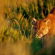 A mountain lion stalks through the sage brush.