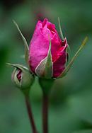 Rosa 'Gertrude Jekyll' bud
