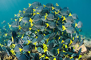 Yellowtailed Surgeonfish (Prionurus laticlavus)<br /> GALAPAGOS ISLANDS,<br /> Ecuador, South America