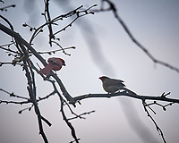 Pair of Northern Cardinals in a tree. Image taken with a Nikon D5 camera and 600 mm f/4 VR lens (ISO 1600, 600 mm, f/4, 1/1000 sec).