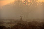 © Licensed to London News Pictures. 10/12/2013. Richmond, UK. A stag deer with only one Antler stands in the morning fog. .  Sunrise and deer in Richmond Park, Surrey, this morning 10 December. Photo credit : Stephen Simpson/LNP