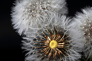 close up of a fluffy Dandelion blowball on black background
