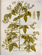 Woodsorrel (Oxalis barrelieri). Illustration from 'Oxalis Monographia iconibus illustrata' by Nikolaus Joseph Jacquin (1797-1798). published 1794