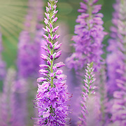 """Light as Air in Lavender""<br />