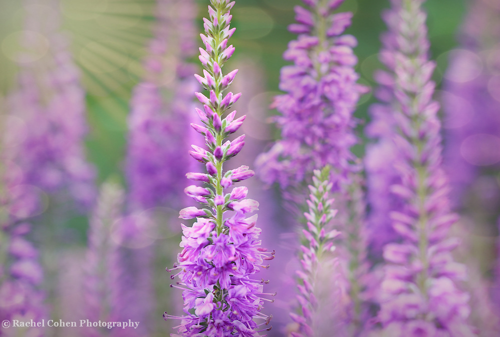 """""""Light as Air in Lavender""""<br /> <br /> Lovely purple Veronica in a beautiful lavender hue!"""