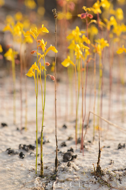 Usually visible only by its flowers, this carnivorous bladderwort (Utricularia odorata) possesses tiny underground traps which enable it to consume small invertebrates in the wet soil. Kampot, Cambodia.
